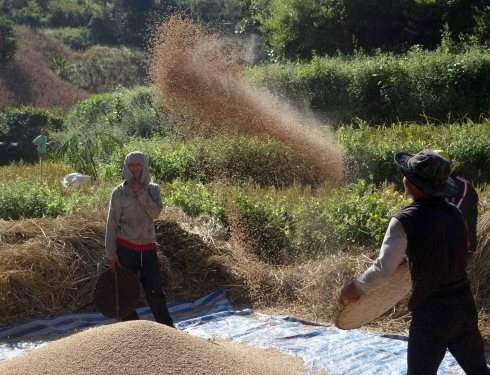 Harvesting of the corn (threshing)
