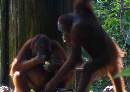 Orangutan 6-1